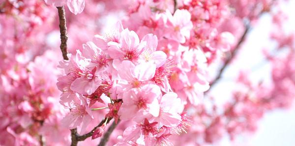 Tokyo si tinge di rosa e bianco